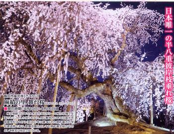舞台桜 10.jpg