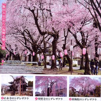 しない桜.jpg