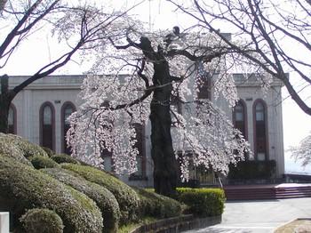 創造館枝垂れ桜1.jpg
