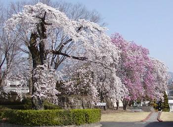 創造館桜2.jpg