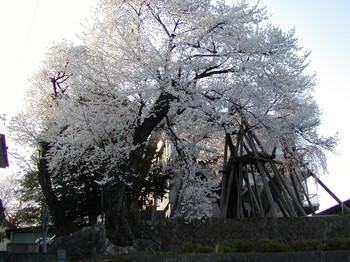夫婦桜.jpg