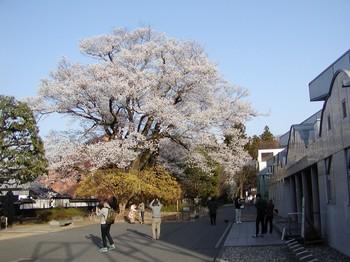 安富桜2.jpg