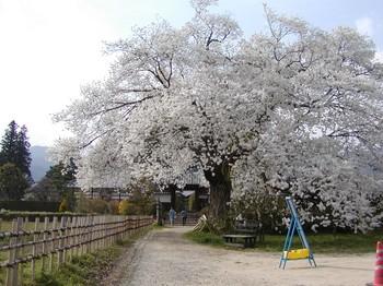 松源寺桜1.jpg