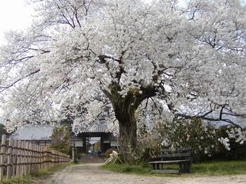 松源寺桜2.jpg