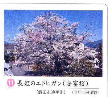 桜情報2018.4.3安富桜.jpg