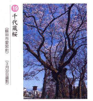 桜情報2018.4.4千代蔵愛宕町.jpg
