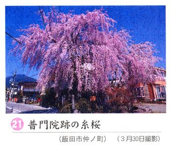 桜情報2018.4.4普門院跡.jpg