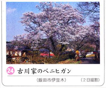 桜情報2018.4.5吉川家.jpg