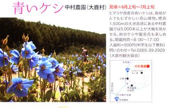 青いケシ2018.4.12.jpg