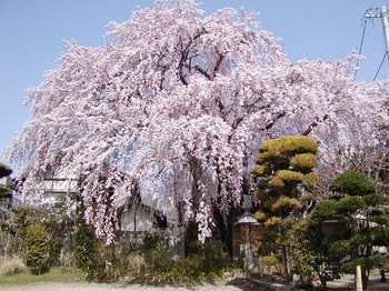 黄梅桜3.jpg