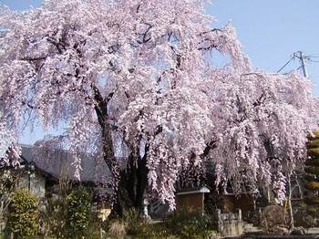 黄梅院桜2.jpg