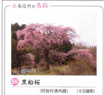 黒船桜2018.4.12.jpg